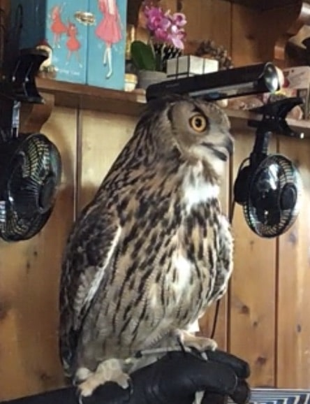 Ollie the Eurasian Eagle Owl poses at Pastimes for a Lifetime
