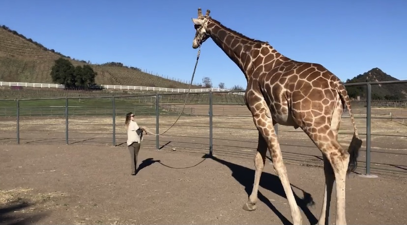 Taylor McLeod works with exotic animals at the Malibu Wine Safaris